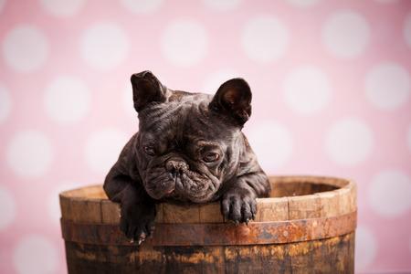 bulldog: french bulldog in old barrel