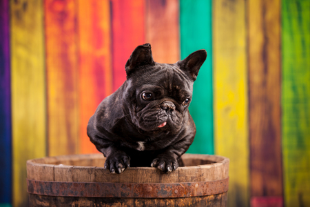 bulldog puppy: french bulldog in old barrel
