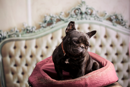 small dog: french bulldog over vintage sofa