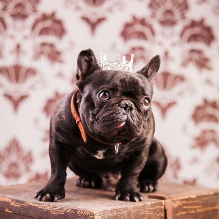 french bulldog wearing crown like a king