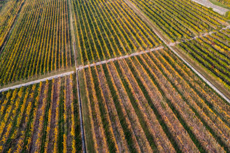 aerial view of beautiful autumn vineyard