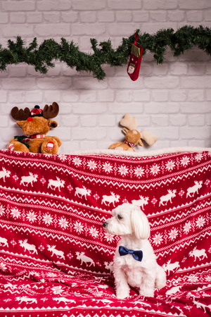 christmas dog  wearing blue necktie Stock Photo