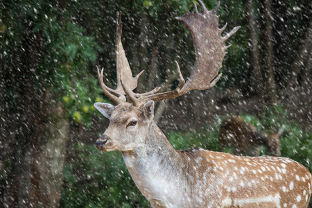 fallow deer, dama dama in a forest with snowing