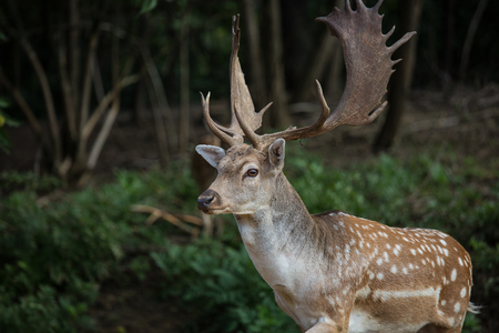 fallow deer, dama dama in a forest Stock Photo