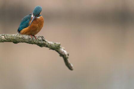 Common Kingfisher (Alcedo atthis) sit on tree