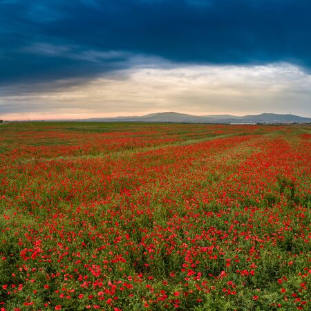 beautiful red poppy field with cloudy sky