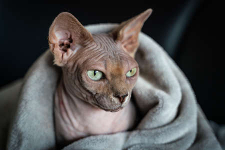Canadian Sphinx. green-eyed bald cat