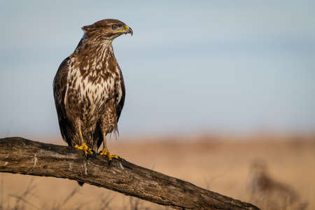 common buzzard standing alone on a tree