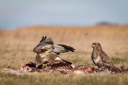 common buzzard standing alone on grass
