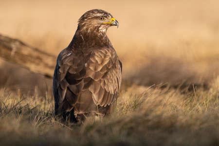 common buzzard eating alone on grass Stock Photo