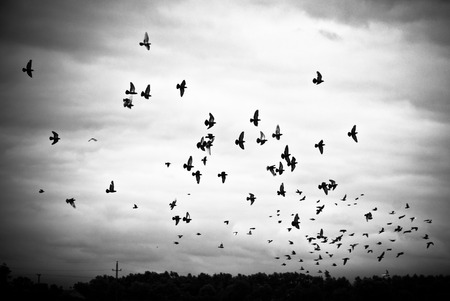 Pigeons flying in the sky in groups, black white photo