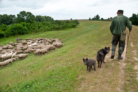 Shepherd with sheperd dogs fed and watch over the sheep flock photo