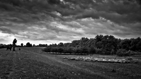 Shepherd fed and watch over the flock in cloudy weather before the storm, dramatic, black white photo