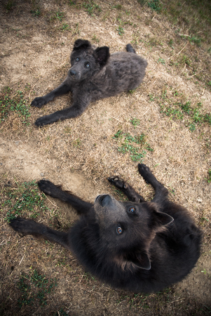 sheperd: Schipperke sheperd dogs lying in the dry grass