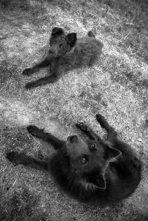 sheperd: Schipperke sheperd dogs lying in the dry grass, black white
