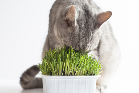 Adult young gray cat sitting and eating fresh green grass on white background Stock Photo