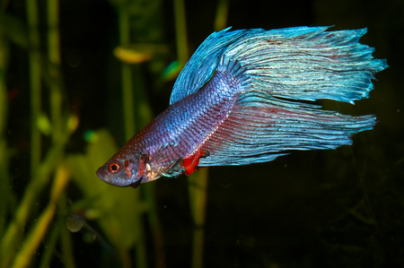 blue siamese: Purple cyan blue siamese fighting fish  Betta splendens  in aquarium