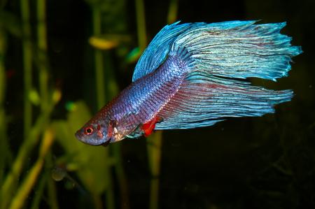 Purple cyan blue siamese fighting fish  Betta splendens  in aquarium Stock Photo - 23461918