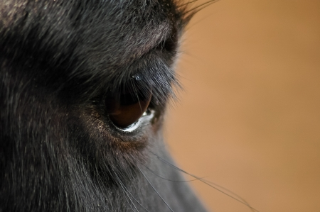 Black horse eye close up