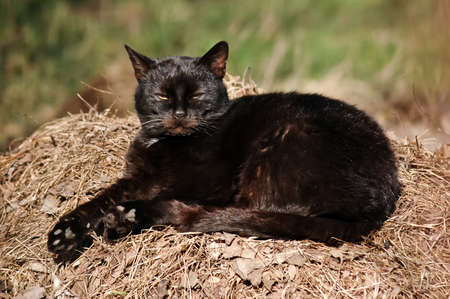 Black cat lying on a heap of litter and enjoy the last autum warm sunshine photo