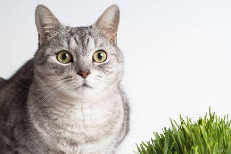 poner atencion: Adulto gris gato joven cara vista retrato sentada y prestar atenci�n ocupar la cabeza con la hierba verde fresca en el fondo blanco