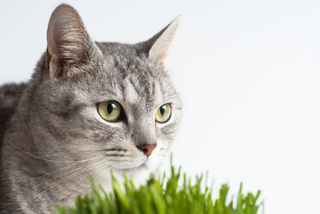 Adult gray young cat face view close up portrait sitting and pay attention taking up his head with fresh green grass on white background