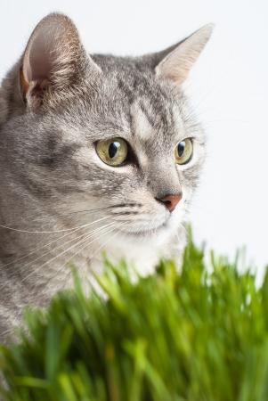 poner atencion: Adulto joven gris vista la cara del gato de cerca retrato sentado y prestar atenci�n ocupar la cabeza con la hierba verde fresca en el fondo blanco