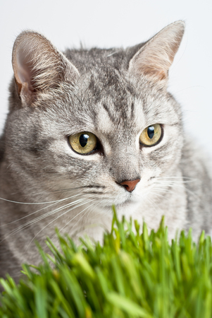 Adult gray young cat face view close up portrait sitting and pay attention taking up his head with fresh green grass on white background photo
