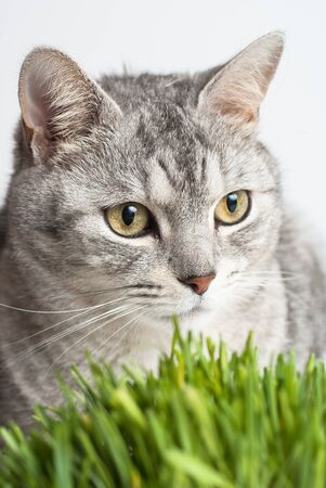 Adult gray young cat face view close up portrait sitting and pay attention with fresh green grass on white background photo