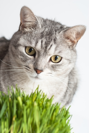 Adult gray young cat face view close up portrait sitting and pay attention with fresh green grass on white background
