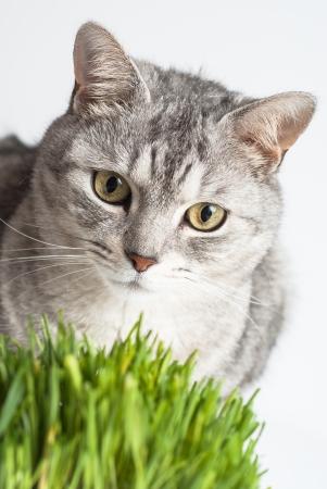 poner atencion: Adulto joven gris vista la cara del gato de cerca retrato sentado y prestar atenci�n con la hierba verde fresca en el fondo blanco