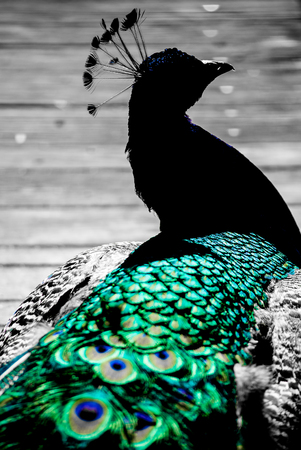 indian peafowl: Abstract silhouette peacock on wooden background selective colored