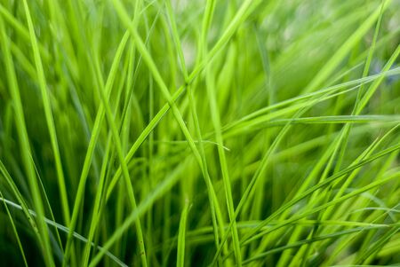 Lots of fresh natural green thick long grass close-up photo