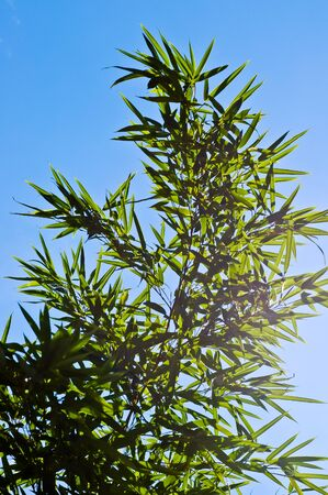 Natural green japanese bamboo leaves on blue sky background in the bright sunshine photo