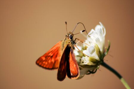 Beautiful orange butterfly feeding on a white flower on brown background Stock Photo