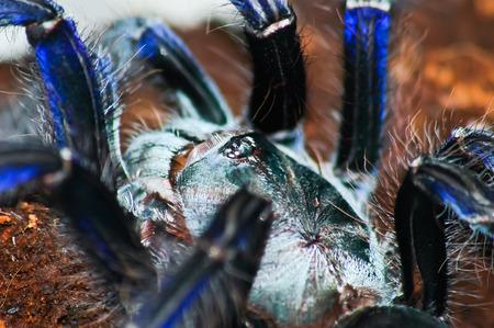 Big purple birdspider on bark  Cyriopagopus sp  blue, Lampropelma violaceopes  close up