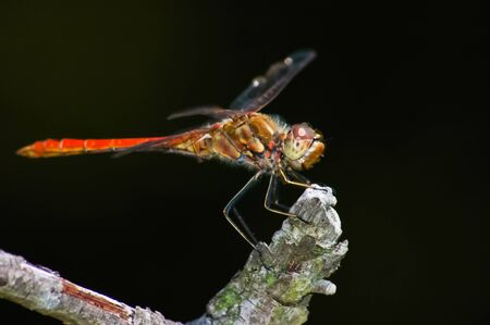 Red dragonfly sitting on a mossy perch, on black background Stock Photo