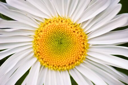 Little white spring daisy flower with yellow stamen, close up