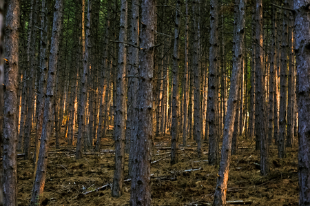 Deep in the dark pine forest at dawn sunrise