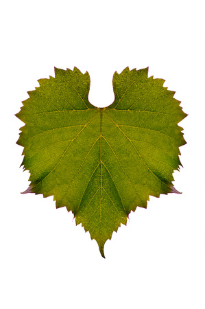 Heart shaped brownish green grape leaves