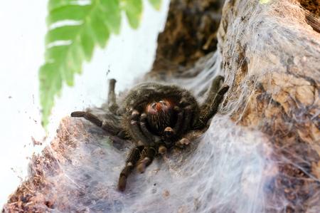 Big black tarantula molt in the nest