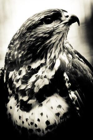 Hawk looks up, black and white