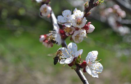 fleur de cerisier: L'abeille vole � la fleur de cerisier Banque d'images