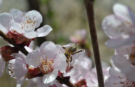 fleur de cerisier: Une abeille dans la fleur de cerisier