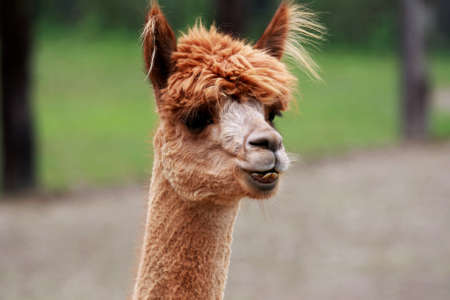 alpaca with buck teeth