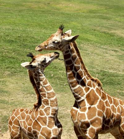 snuggle: giraffes playing Stock Photo