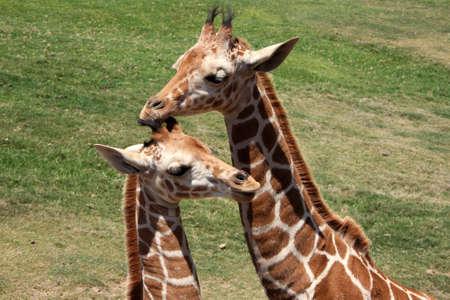 snuggling: giraffes snuggling Stock Photo