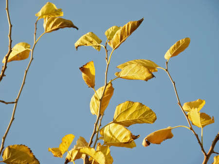 Yellow Autumn Leaves on Blue Background