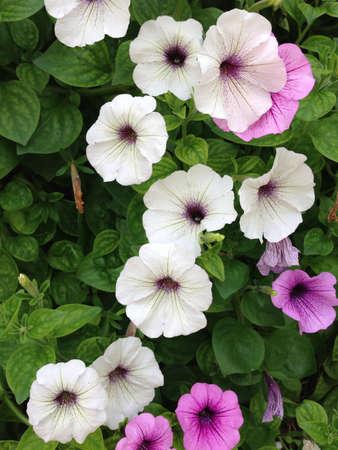 흰색과 보라색 나팔꽃 녹색 잎 배경