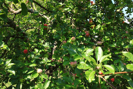 apple green: Organic apples growing in late Summer